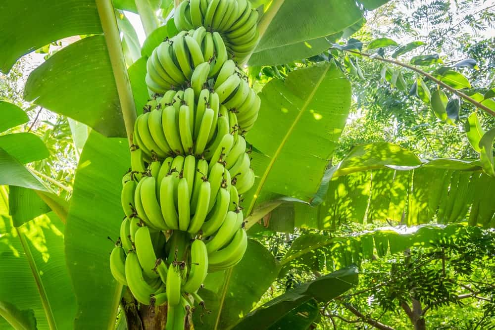 A look at bundles of green giant Cavendish bananas growing from the tree.