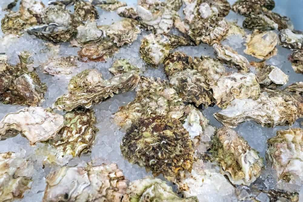 A close look at a bunch of oysters stored in ice.