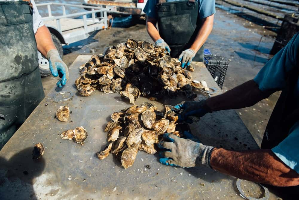 A group of oystermen examining the Wellfleet oysters.