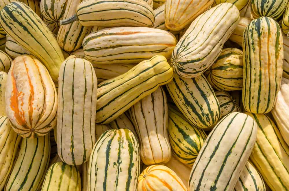 A close look at a bunch of delicata squash on display.